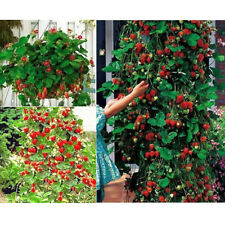 New 100pcs Nutritious Climbing Strawberry Seeds Fruit Plant in potting / Garden