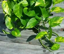 ☆2 Golden Queen Pothos Vine ☆Epipremnum ☆Devil's Ivy Money  ☆ 2 Rooted plants