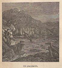A9191 Gli Pterorattili - Xilografia - Stampa Antica del 1906 - Engraving