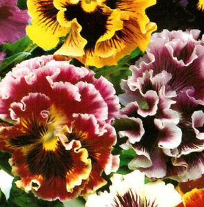 PANSY FRILL MIXED F1 - Viola wittrockiana - BIENNIAL - SEEDS.1 Pack - 100 Seeds