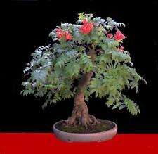 5 X Sorbus aucuparia Rowan bonsai trees free dispatch