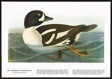 1930s Original Vintage Audubon Barrows Goldeneye Duck Bird Art Print