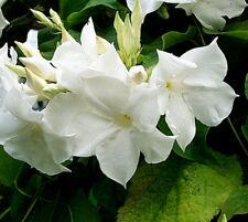 Chilean Jasmine (Mandevillea suaveolens) - 10 Fresh Seeds