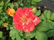 Pinata Yellow Orange Rose 2 Year Live Bush Plants Shrub Plant Fine Roses
