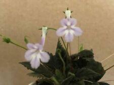 Sinningia *Muscicola* African Violet Relative/Gesneriad (Seeds)