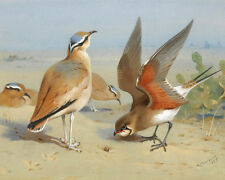 Archibald Thorburn  Cream Coloured Courser And Pratincole 1925  Wall Art  Canvas
