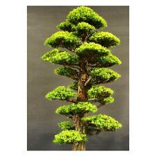 Tree seeds for home Garden bonsai Plant JAPANESE Cedar Seeds [50PCS]