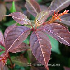 Parthenocissus Henryana Boston Ivy Climbing Plant x 2