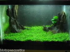 WEEPING MOSS 5g 4 x 3 cm rare aquarium fish carpet plant mesh bogwood java nano