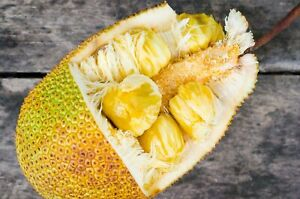 "Jackfruit tropical fruit tree Rare exotic 12""-36"""