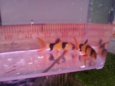Clown Loaches (2) - Live tropical fish