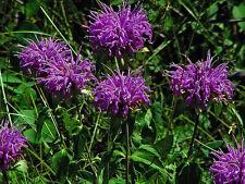 BERGAMOT Wild BEE BALM 400 Seeds Butterfly Monarda Fistulosa Horsemint Perennial
