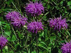 BERGAMOT Wild BEE BALM 900 Seeds Butterfly Monarda Fistulosa Horsemint Perennial
