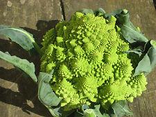 Brocoli 500 semillas Brassica oleracea coliflor