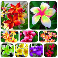 100 PCS Seeds Japanese Style Plumeria Plants Potted Bonsai Home Garden 2019 New