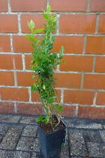 Brombeere 3st 40cm Schwarze Früchte Rubus fruticosus  'Black Satin'