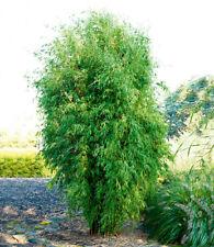 Säulenförmiger Bambus
