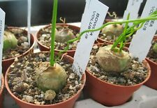 BOWIEA VOLUBILIS - beautiful caudex plant !