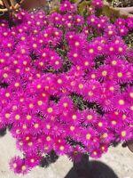 DELOSPERMA COOPERI '' Ice Plant '' X2 Cuttings from mature Plant