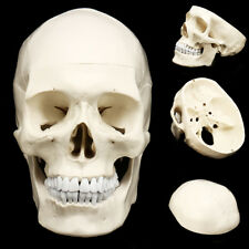 Life Size Human Anatomical Anatomy Resin Head Skeleton Skull Teaching Model