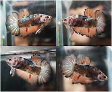 Live Betta Fish Fancy Orange Blue Samurai Vanda HMPK Halfmoon Plakat Male FHP190