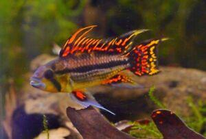 Apistogramma Cacatuoides Triple Red Breeding Pair — Dwarf Cichlids!