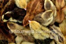 110+ Rare Quail Hatching Eggs (Coturnix) Npip