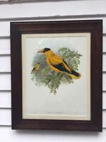 Original Hand Colored John Gould Lithograph Orioles Chinensis Great Frame