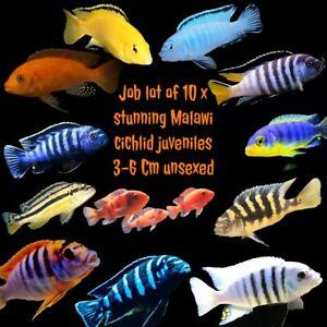 10 X Stunning Malawi Cichlids Juveniles Bright & Beautiful 3~6 Cm Special Offer
