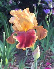 Tall Bearded Iris 'Swain'— Barry Blythe