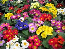 25+ PRIMULA GIGANTEA MIX PRIMROSE FLOWER SEEDS / PERENNIAL / SHADE / HOUSEPLANT