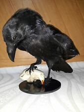 Stuffed raven with skull on a wooden stand Taxidermy Bird