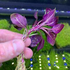 New listing Lobelia Cardinalis (Cardinal Plant 'Dwarf') - Buy3Get1Free - Live Aquarium Plant