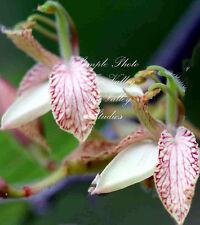 Tamarindus indica Tamarind Tree 8 seeds orchid flowers Houseplant Or Bonsai
