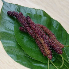 "Long Mulberry Tree 'Pakistan"" Black Mulberry Tree Morus nigra Live Plant Fruit"