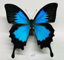 Papilionidae Papilio ulysses a1 XXL mounted ceram