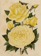 Descamps Sabouret Fleur Rose Madame Hoste Journal des roses Lithographie 1893
