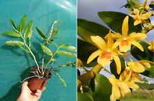 Dendrobium Stardust Yellow, orchidée, Orchid