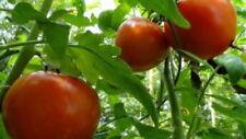 500 Heirloom Homestead Tomato Seeds - Gift - COMB S/H