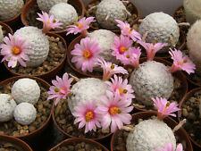 Mammillaria herrerae 50 seeds