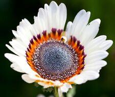 Venidium Zulu Prince 100 Seeds Daisy Seeds Monarch of the Veldt Cape Daisy