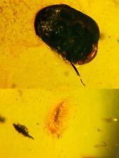 Polyxenida millipede&beetle Burmite Myanmar Amber insect fossil dinosaur age