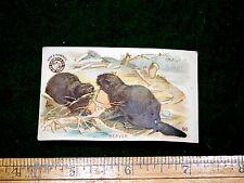 1870s-80s Arm & Hammer Interesting Animals - Beaver Victorian Trade Card F15