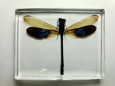 EUPHAEA SUBNODALIS. Real Damselfly embedded in clear resin.