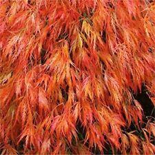 100 ORANGE DREAM JAPANESE MAPLE TREES ** SEEDS ** ,ORNAMENTAL SHADE TREES