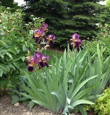 Purple Iris Mme Henri Cayeux Historic Tall Bearded (Tb) - 1 Rhizome