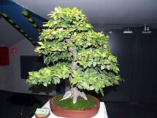European Hornbeam, Carpinus betulus, Tree Seeds (Fall Color, Bonsai, Topiary)