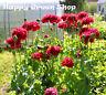 POPPY RED PEONY - Papaver Paeoniflorum - 500 seeds - ANNUAL FLOWER
