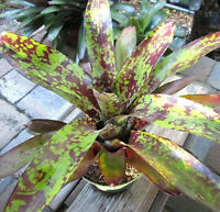 BROMELIAD Neoregelia WINE AND GOLD Unbelievable Colors! Bright Young Plant!
