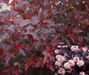 Physocarpus Lady in Red Dark Leaf Pink Flower Shrub Plant Supplied in a 9cm Pot